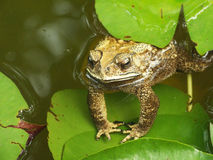 Burrowing Toad Royalty Free Stock Photo