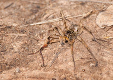 Burrowing Wolf Spider, Geolycosa Royalty Free Stock Photography