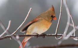 Burrrr…it is cold!. A female cardinal shivering on a snow covered tree branch Royalty Free Stock Photography
