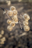 Burrs Royalty Free Stock Photos