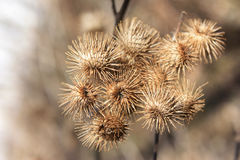 Burrs in Fall Stock Images