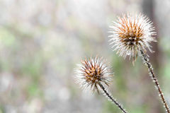 Burrs Royalty Free Stock Photography