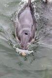 Burrunan Dolphin (Tursiops australis). Swimming in the waters of Lake King in Lakes Entrance, Victoria, Australia Stock Photo