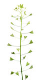 Bursa-pastoris εγκαταστάσεων ή Capsella πορτοφολιών ποιμένων ` s με τα λουλούδια και φρούτα που απομονώνονται στο άσπρο υπόβαθρο στοκ φωτογραφίες με δικαίωμα ελεύθερης χρήσης
