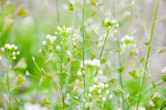 Bursa-pastoris Capsella στο πάρκο θερινών πόλεων Στοκ εικόνα με δικαίωμα ελεύθερης χρήσης