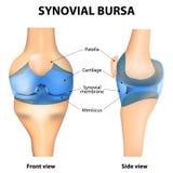 Bursa Synovial Imagens de Stock