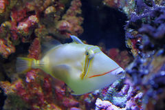 Bursa Triggerfish Στοκ εικόνες με δικαίωμα ελεύθερης χρήσης