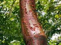 Bursera simaruba Stock Photography