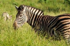 Burshell zebra in kruger park Stock Image