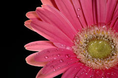 Burst of Color. A bright pink gerbera daisy against a black background royalty free stock photography