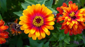 A Burst of Color. Vibrant red and yellow colors burst from this beautiful Summertime flower Stock Image