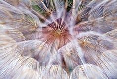 Burst dell'estratto di una sfera dei paracadute del dente di leone Fotografia Stock