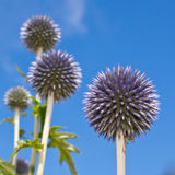Burst of Echinops. An echinops plant form a perfect sphere outlined against a blue sky royalty free stock photography