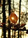 Burst of light. The sun shinning through a hole in a leaf royalty free stock image