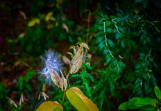 Bursting fine seed pod in autumn. royalty free stock images