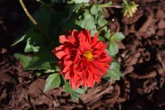 Bursting red dahlia flower bloom. With yellow center stock photos
