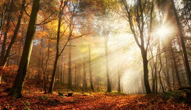Bursting sunrays in a misty autumn forest. Rays of bursting sunlight in a misty forest with red and gold colors in autumn Royalty Free Stock Photos