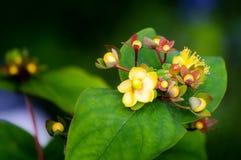Bursztyn lub tutsan kwiatu zbliżenie, Hypericum androsaemum, ziołowa medycyna obrazy royalty free