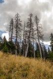 Burtbomen bij de rand van een bos Stock Afbeelding