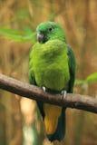Buru racket-tail parrot Stock Images