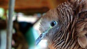 Burungs-merbok lizenzfreie stockbilder