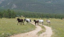 Buryats Pferde Stockfotos