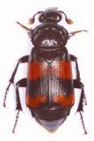 Burying beetle. Necrophorus investigator burying beetle isolated on white background royalty free stock photos