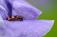 Burying Beetle on Iris Flower Royalty Free Stock Photo