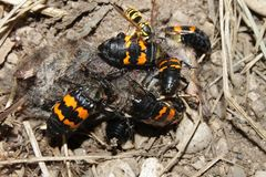 Burying Beetles Illinois Wildlife. Burying Beetles (Nicrophorus orbicollis) on a dead mouse at Rock Cut State Park in northern Illinois Royalty Free Stock Photos