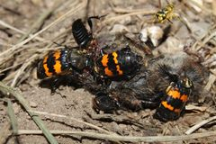 Burying Beetles (Nicrophorus orbicollis). On a dead mouse at Rock Cut State Park in northern Illinois Stock Photography