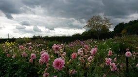 Burz chmury nad różową kwiaciastą łąką Zdjęcia Royalty Free