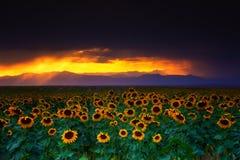 Burze, słoneczniki i zmierzchy, zdjęcie royalty free