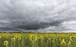 Burzowy niebo nad polem słoneczniki zdjęcie royalty free