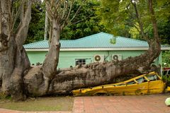 Bus squashed in hurricane by baobab in Dominica Royalty Free Stock Photos