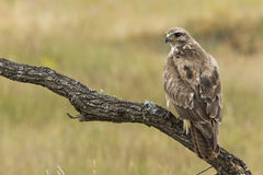 Busardo, (buteo do Buteo) Fotografia de Stock Royalty Free
