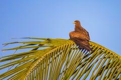 Busardo que espera uma rapina no por do sol em um ramo de palmeira, Senegal Imagem de Stock Royalty Free