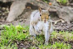 Busca do esquilo uma porca fotos de stock royalty free