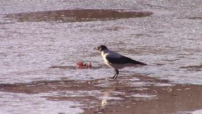 Busca encapuçado do alimento do corvo filme