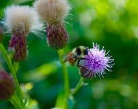 Buscar el néctar en la flor Fotografía de archivo