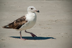 Buscas da gaivota para o alimento na costa atlântica foto de stock royalty free
