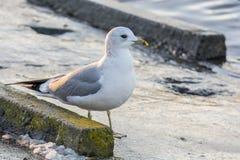Buscas da gaivota para o alimento na costa foto de stock royalty free