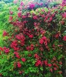 Busch av rosor på sommar royaltyfri foto