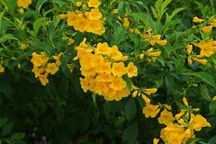 Busch der gelben Trompete, gelbe Glocken, gelbes Ältestes stockfotografie
