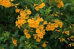 Busch der gelben Trompete, gelbe Glocken, gelbes Ältestes stockfoto
