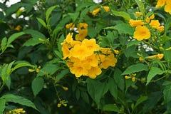 Busch der gelben Trompete, gelbe Glocken, gelbes Ältestes lizenzfreies stockbild