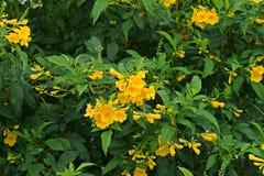 Busch der gelben Trompete, gelbe Glocken, gelbes Ältestes lizenzfreie stockfotos