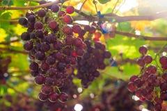 Busch der roten Traube mit Sonnenlicht auf Weinberg Lizenzfreies Stockfoto