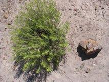 Busch des versteinerten Holzes und der Wüste Stockfotos