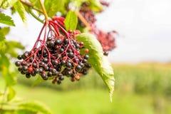 Busch Elderberry конца-вверх стоковое изображение