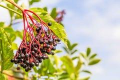 Busch Elderberry конца-вверх стоковое фото